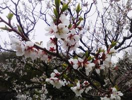 【清田区】梅がキレイでした~平岡公園~