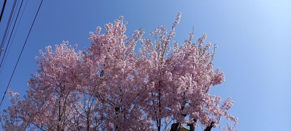 となりの桜    20210504_091256.jpg